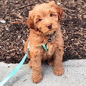 dog leash, puppy leash, pet accesories