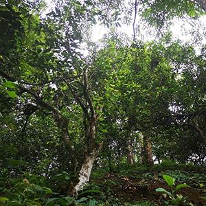 old tea trees