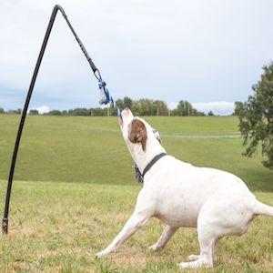 big strong dog tugging
