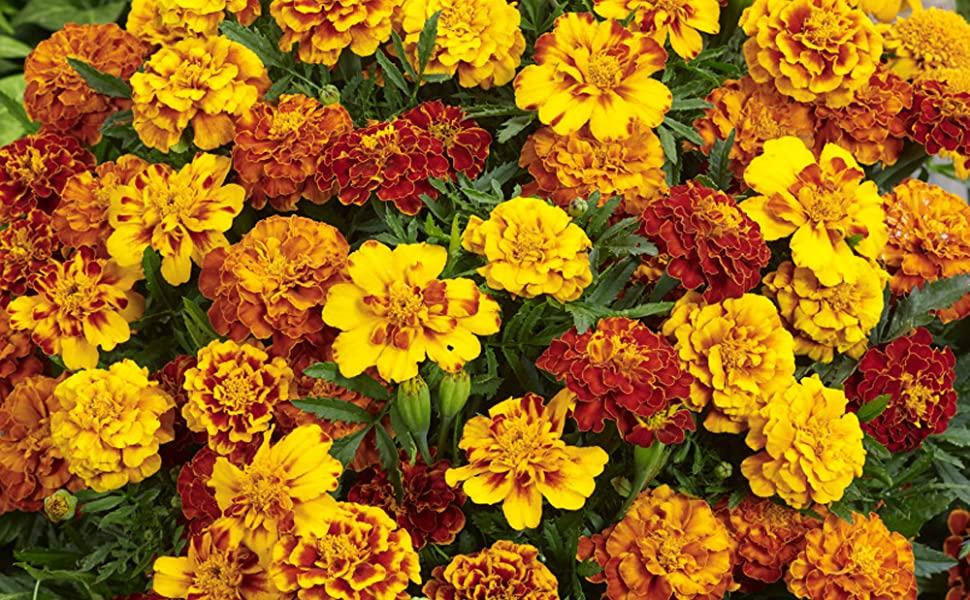 TALL PLANTS 8 GRAMS  GROWS 3 FT FRENCH MARIGOLD SEEDS BIG ORANGE /& YELLOW