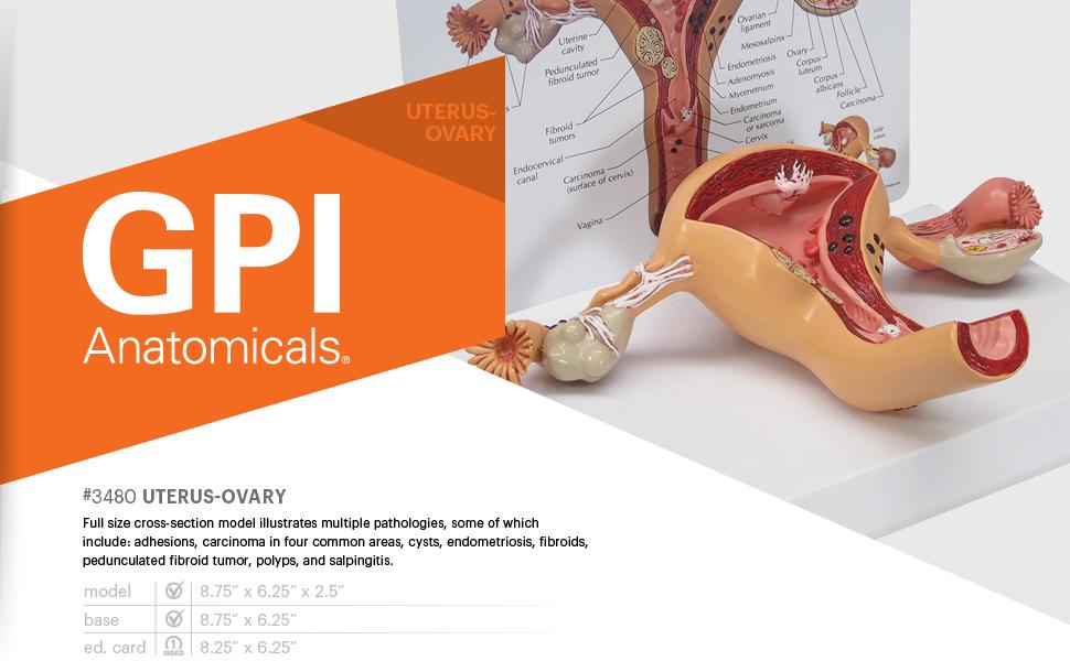 uterus ovary model human anatomy