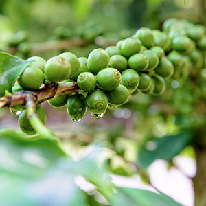 Why is our Green Coffee Bean Extract effective?