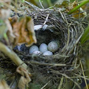 wren nest with eggs in raspberry bush after mating season when wrens breed and reproduce and sing.