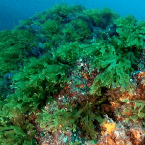 marine algae benefits