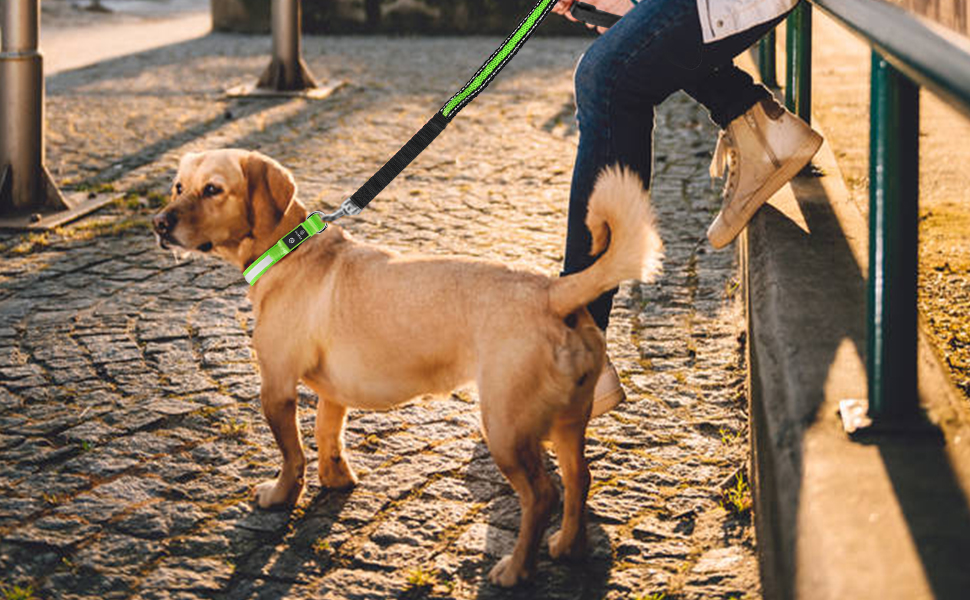 collier chien labrador