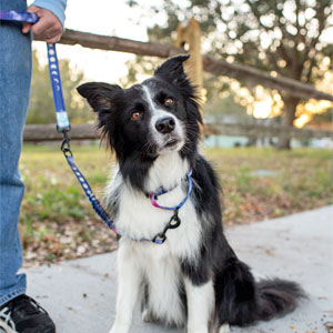 Medium dog border collie with mountain print dog leash with reflective stitching and neoprene handle