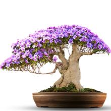 L'arbre Jacaranda