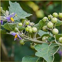 Brahati (Solanum indicum)