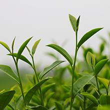 tea tree leaf oil