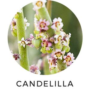 Candelilla Lip Balm