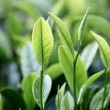 شجرة الشاي