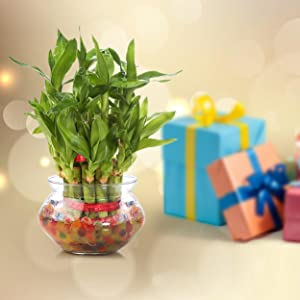 lucky bamboo plant gifts gifting festival occasion birthday