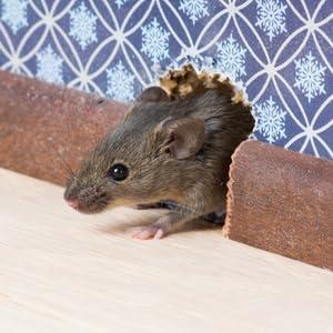 mouse dead rat possum critter death smell odor decomposing poison pest control