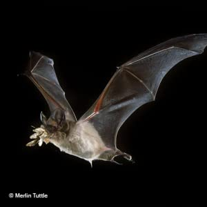 A Brazilian free-tailed bat (Tadarida brasiliensis) in flight with its prey