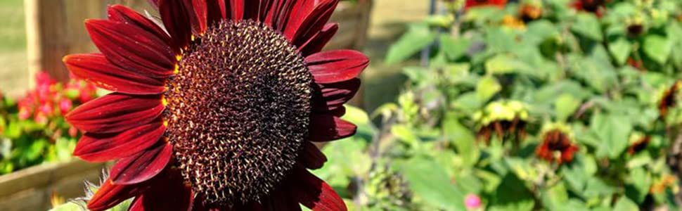 Sunflower seeds for planting