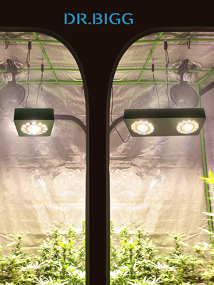 bigg 2000w led grow in tent