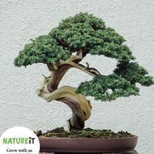 Bonsai tree seed grow guide