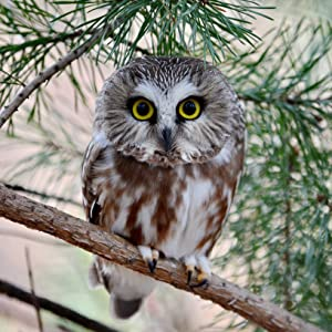 saw whet owl small habitat house nest roost shelter