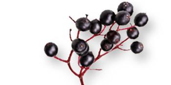 Black Elderberry Fruit Extract