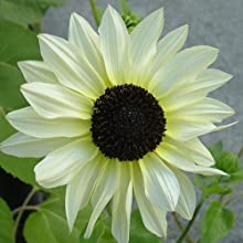 italian white sunflower seeds for planting