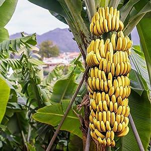 Grand Nain Banana