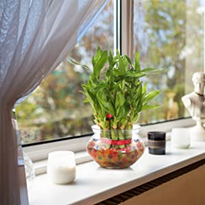 sunlight direct light care bamboo plant