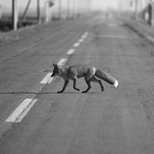 ANIMAL ON THE ROAD