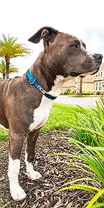 classic dog collar, dog accesories, pet training