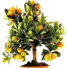 Darjeeing Orange