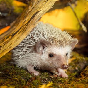 temperature controller for Hedgehog Pets