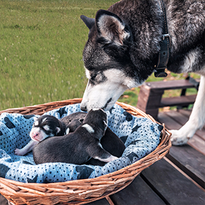Mom dog & puppies-pregnancy vitamins for dogs, folic acid for pregnant