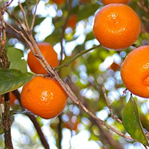 orange, oranges, orange tree