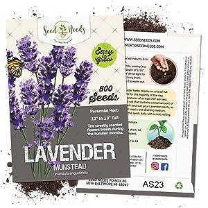munstead lavender seeds for planting