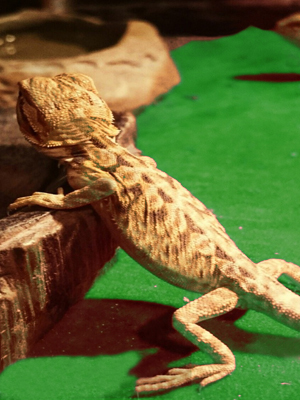 lizard carpet