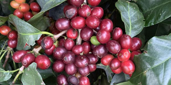 Coffee Cherries, French Roast Thunderbolt Coffee, 100% Arabica Beans