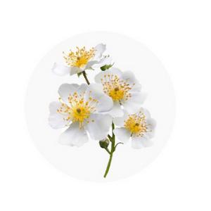 tatcha the water cream Japanese Wild Rose