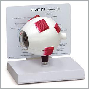 eye 3d 4d working learning educational biology eyeball brain anatomy optometry ear human anatomical