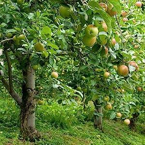 apple tree, honeycrisp apple tree, tree, live tree