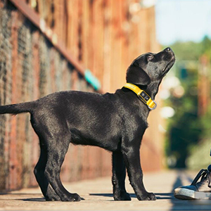 collier chien reglable