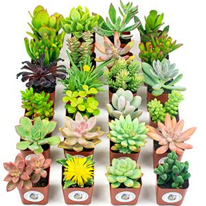 succulents plants live succulents