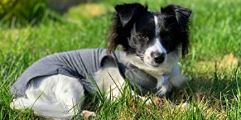 Body pour chien post-chirurgie