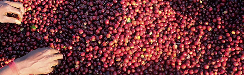 Coffee berries fresh