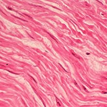 Smooth muscle tissue under the microscope