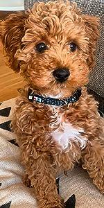 classic dog collar, dog accesories, pet training, reflective dog collar