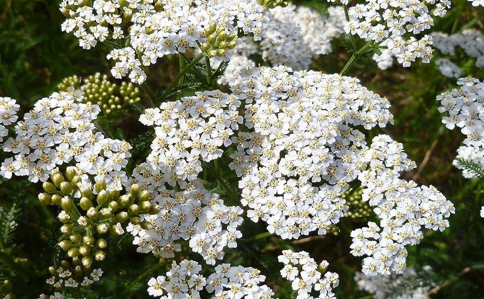 yarrow seeds for planting white yarrow flower seed for planting yarrow herb seeds
