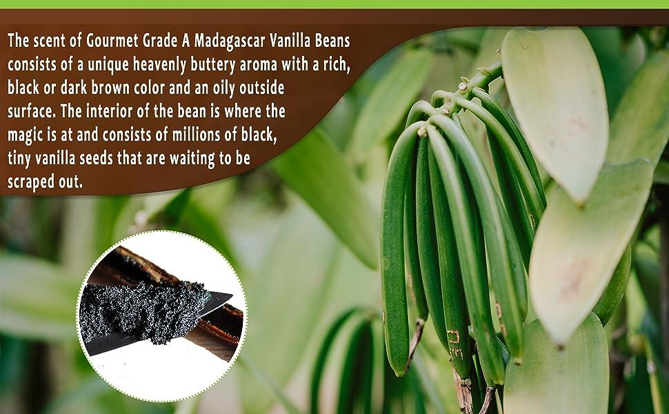 Fresh vanilla beans real extract baking cook vanilla sticks bulk Madagascar Tahitian bourbon