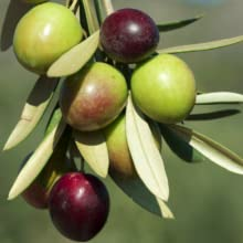 Picual amp; Arbequina Olives