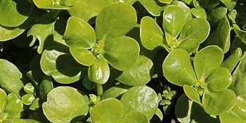 green purslane herb seeds for planting
