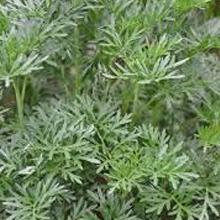 sweet wormwood organic wormwood extract artemisia annua extract artemisia herb artemisia powder
