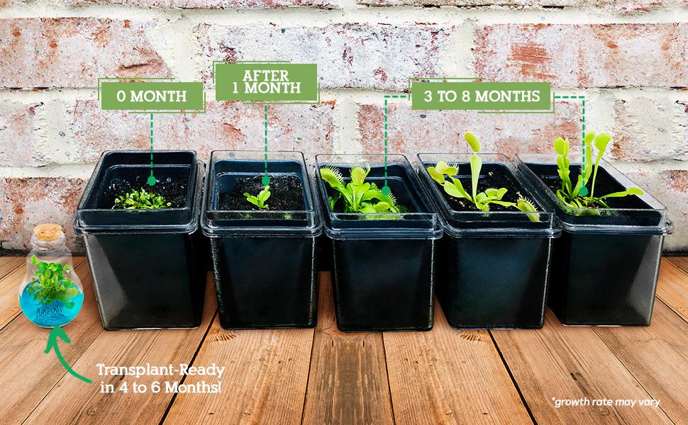 months life span growth plant venus flytrap fly trap